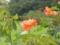 2012/09/15/バラ「フェローシップ」