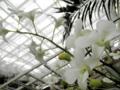 2012/10/14/デンドロビウム「Den. Hybrid」交配種、種名不詳
