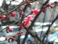2013/02/13/ウメ1