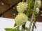 デンドロビウム「Den. purpureum fma. album 'Yuki'」