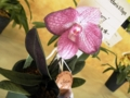 パフィオペディラム「Paph. Victoria Village 'Berry'」