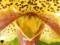パフィオペディラム「Paph. Cheek Spots `Spring`」