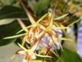 デンドロビウム「Den. tetragorum 'Gifu'」