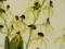 プロステケア「Psh. cochleata `Kite`」
