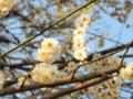 2013/03/02/ウメ