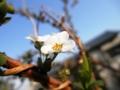 2013/03/13/ユキヤナギ