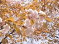 2013/04/05/サクラ「木の花桜」