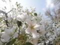 2013/04/05/サクラ「寒桜」
