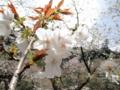 2013/04/05/サクラ「太白」