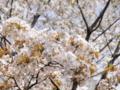 2013/04/05/サクラ「八房桜」