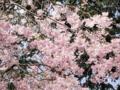 2013/04/05/サクラ「八重紅枝垂」