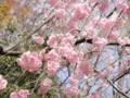 2013/04/05/サクラ「雨情枝垂」