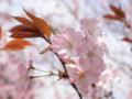 2013/04/05/サクラ「兼六園熊谷」