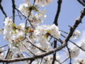 2013/04/05/サクラ「白雪」