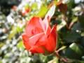 2013/04/28/バラ「ルーピング」?