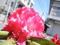 2013/05/03/西洋シャクナゲ「火祭」