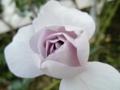 2013/10/12/バラ「つるブルーバイユー」