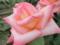 2013/10/12/バラ「ダイアナ・プリンセス・オブ・ウェールズ」