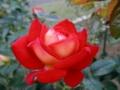 2013/10/12/バラ「希望」?