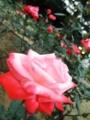 2013/10/12/バラ「丹頂」
