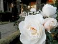 2013/11/23/バラ「プリンセス・オブ・ウェールズ」(FL)