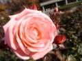 2013年12月07日バラ「バイオレット・カーソン」(F)