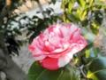 2013年12月07日ツバキ「菊冬至」