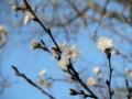 2013年12月07日サクラ「子福桜」
