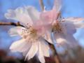 2013年12月07日サクラ「十月桜」
