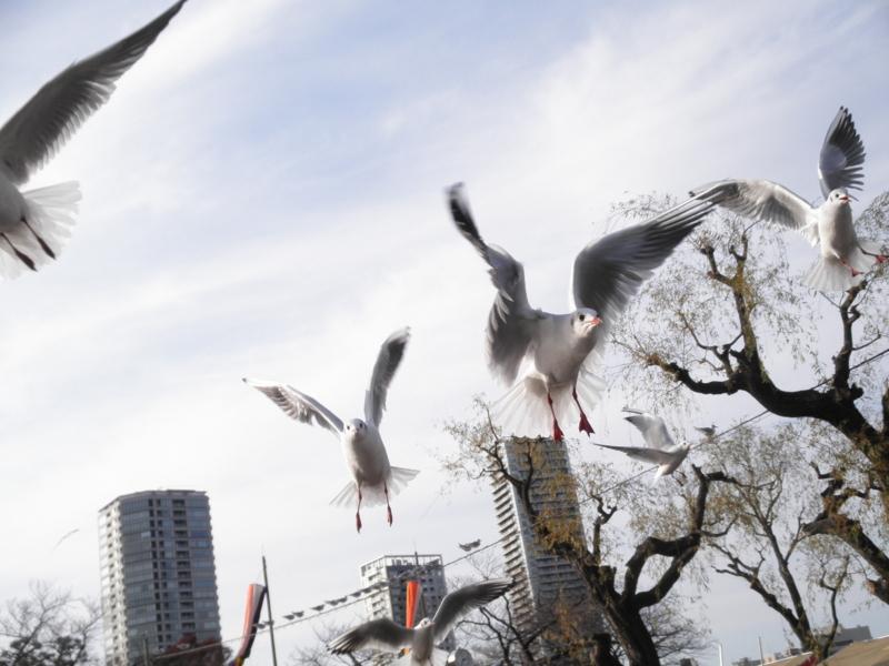 2014/01/04/ユリカモメ