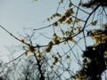 2014/01/31/ソシンロウバイ