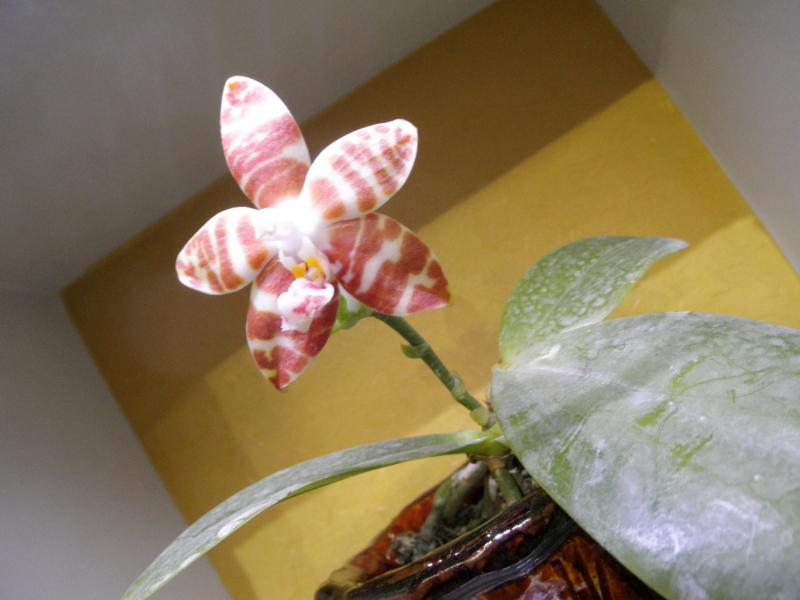 ファレノプシス「Phal. amboinensis」