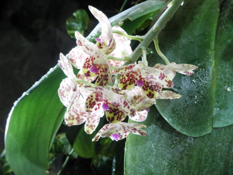 ファレノプシス「Phal. gigantea」
