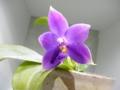 ファレノプシス「Phal. violacea fma. coerulea」