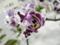 ファレノプシス「Phal. Formosa Cranberry 'Kiyoshi'」