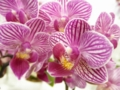 ファレノプシス「Phal. Nobby's Little Candy × Little Gem Stripe 'Makoto'」