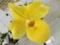 パフィオペディラム「Paph. Fumi's Delight × Norito  Hasegawa 'Yellow Wings'」