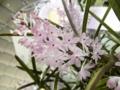 アスコセントラム「Asctm. christensonianum 'Gon'」