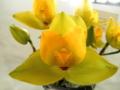 リカステ「Lyc. cruenta 'Sweet Fragrance'」