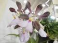 エンシクリア「Enc. cordigera 'Wild Life'」