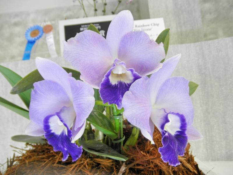 カトレア「C. Tiny Blue 'Yuki Dreamily'」
