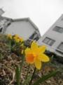 2014/03/26/スイセン