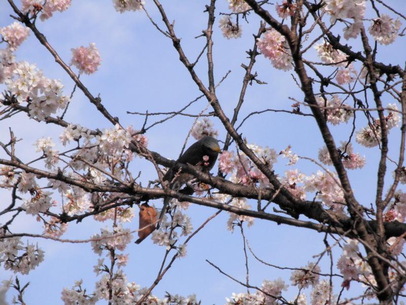 2014/03/29/ヒヨドリ