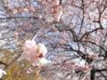 2014/03/29/ウメ「藤牡丹枝垂」