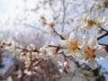 2014/03/29/ウメ2