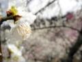 2014/03/29/ウメ「月影」