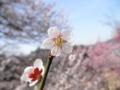 2014/03/29/ウメ6