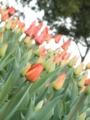 2014/04/05/チューリップ「ダーウィンオレンジ」