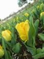 2014/04/05/チューリップ「イエローサン」