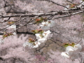 2014/04/12/サクラ「白妙」